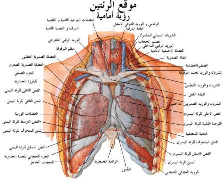 رسم توضيحى لاجزاء الجهاز التنفسى
