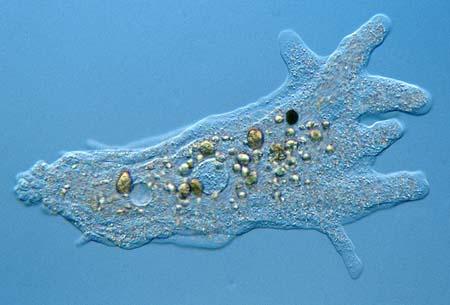 الأميبا تحت الميكروسكوب