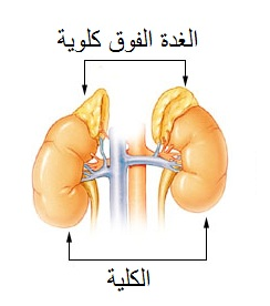 Photo of الغدة الكظرية أعراض وعلاج أورام الغدة الكظرية Adrenal gland