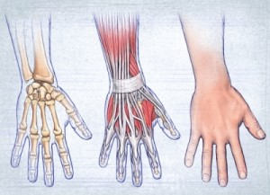 صورة توضح عضلات وعظام اليد