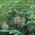 جذور نباتات العرقسوس وفوائدها الطبية