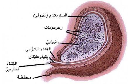 Photo of السيلان ينتقل من الام الي عين الجنين