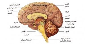 المخيخ و جذع المخ من مكونات الدماغ البشري