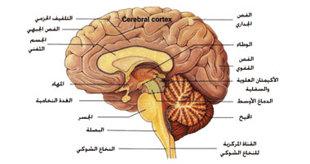 اضطربات المخ وراء فقدان الشهية العصبي