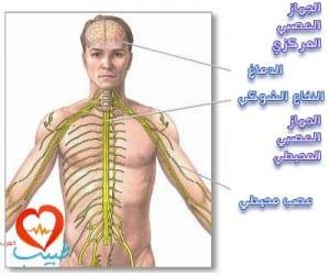 طبيب عرب عصبية تشريح