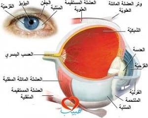 طبيب ع عينية تشريح 11