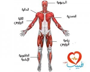 طبيب ع تشريح عضلات
