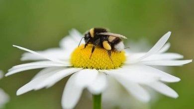 فوائد لسع النحل